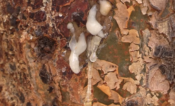 Boswellia Tree Sap