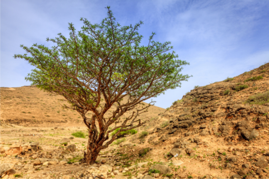 Frankincense Tree Harvesting