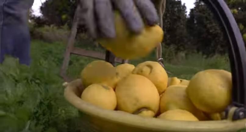 Hand picking lemons