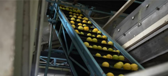 cold press extraction of lemon oil